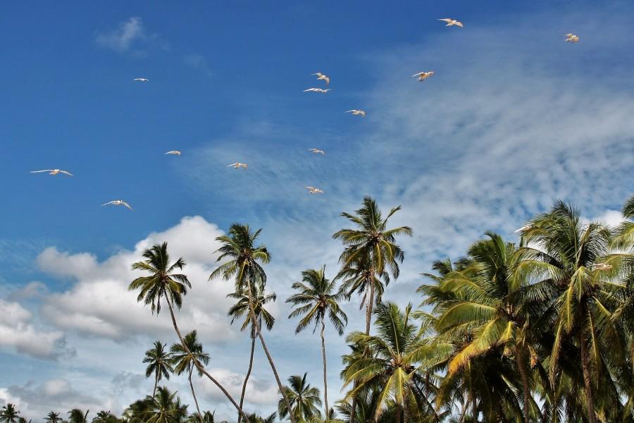 Palm trees, Sri lanka
